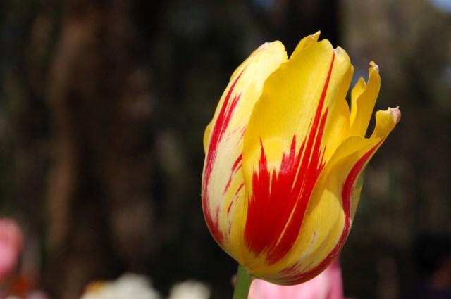 Araluen Tulip Festival Perth Western Australia